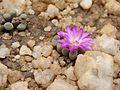 Frithia pulchra03.jpg