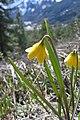 Fritillaria pudica at Leavenworth Ski Hill.jpg