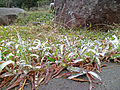 Frost on grass, Tso Shan, Hong Kong 2.JPG