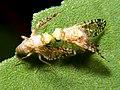 Fruit fly Euaresta.jpg