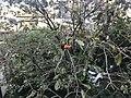 Fruits of Persimmon 20191004.jpg