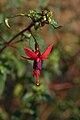 Fuchsia Riccartonii A.jpg