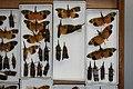 Fulgoridae Drawers - 5036715004.jpg