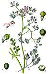 Fumaria parviflora Sturm48.jpg