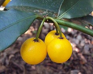 <i>Garcinia intermedia</i> Fruit tree