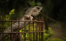 the lizard has a spiny back - Garden Lizard
