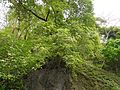 Gardenia resinifera (5849551238).jpg