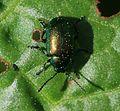 Gastrphysa viridula (Green Dock Beetle) - Flickr - S. Rae.jpg