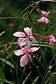 Gaura lindheimeri Siskiyou Pink 4zz.jpg