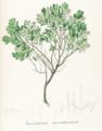 Gaylussacia montana Pohl125.png