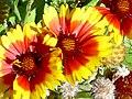 Gazania xhybrida Grandiflora flowersCloseup 2009November22 DehesaBoyaldePuertollano.jpg