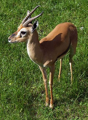 Eudorcas - Red fronted gazelle - Middle Africa
