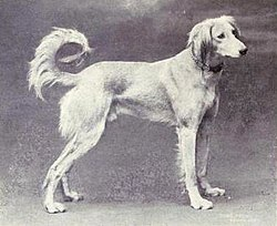 Gazelle Hound from 1915.JPG