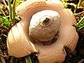 Geastrum saccatum 102627936.jpg