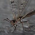 Geflecktflüglige Ameisenjungfer Euroleon nostras 7344.jpg