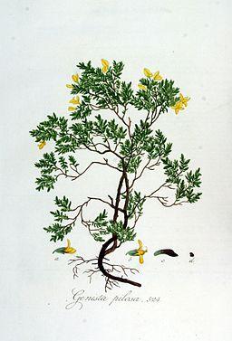 Genista pilosa — Flora Batava — Volume v7