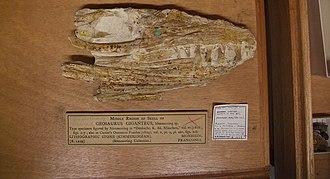 Geosaurus - Holotype skull of G. giganteus.