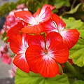 Geranium- Flower.jpg