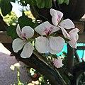 Geranium Flowers.jpg