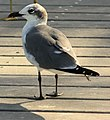 Gfp-laughing-gull.jpg
