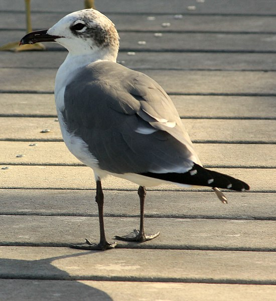 File:Gfp-laughing-gull.jpg