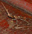 Ghost Mantis (Phyllocrania paradoxa) (32369813353).jpg