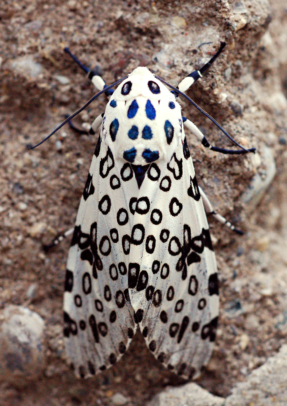 Giant Leopard Moth Wikipedia
