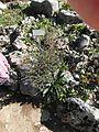 Giardino botanico alpino Viote - Echium vulgare.jpg