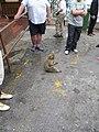 Gibraltar Barbary Macaque-Gibraltar.jpg