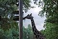 Giraffa0457.JPG