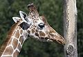 Giraffe (5272655650).jpg
