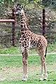 Giraffe Baby Standing in Profile (29930270040).jpg