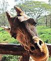 Giraffe muzzle.JPG