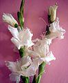 Gladiolus flowers.JPG