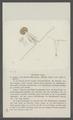 Glaucea ovata - - Print - Iconographia Zoologica - Special Collections University of Amsterdam - UBAINV0274 100 02 0005.tif