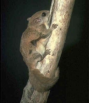 New World flying squirrel - Glaucomys volans