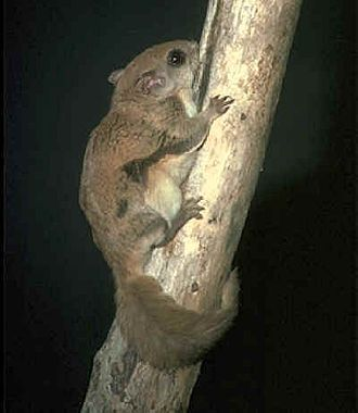New World flying squirrel - southern flying squirrel (Glaucomys volans)