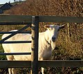 Goat near Wrenwell - geograph.org.uk - 1630080.jpg