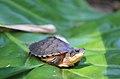 Golden Coin Turtle.jpg