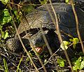 Gopher Tortoise at Smyrna Dunes Park - Flickr - Andrea Westmoreland (5).jpg