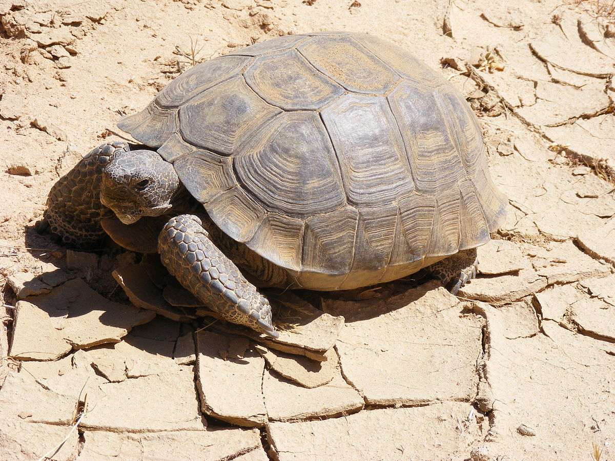 desert tortoise wikipedia