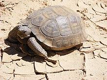 """Agassiz's desert tortoise, """"G. agassizii"""""""