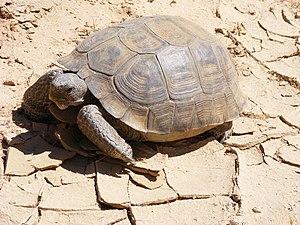 Desert tortoise - Agassiz's desert tortoise, G. agassizii