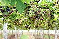 Grape Plant and grapes5.jpg