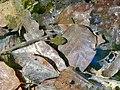 Grasfrosch (Rana temporaria), Kaulquappe, 2019.jpg