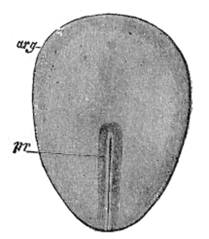 Embryonic disc - Surface view of embryo of a rabbit. (After Kölliker.) arg. Embryonic disk. pr. Primitive streak.