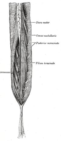 Cauda equina - Wikipedia