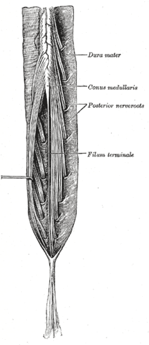 Filum terminale - Cauda equina and filum terminale seen from behind. The dura mater has been opened and spread out, and the arachnoid has been removed. (Filum terminale labeled at center right.)