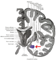 Gray 718-amygdala.png