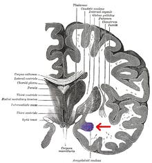 amygdala wikipedia